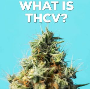 what is thcv by cannaquestions photocred seedandsmith
