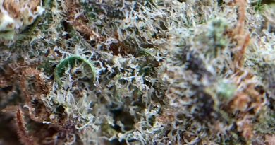 black fire from muv florida strain review by shanchyrls