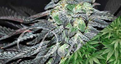 golosa by ancient roots ohio strain review by ohio_marijuana