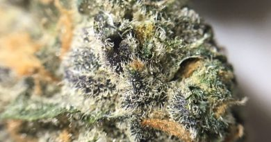 granddaddy purple gdp from thc percentage columbia care strain review by indicadam