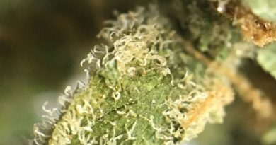 space bomb strain review from trulieve by indicadam