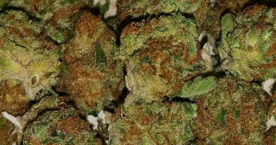 thin mint girl scout cookies by cookie fam strain review by thatcutecannacouple