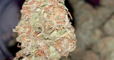 white rhino by green house seed company strain review by thatcutecannacouple