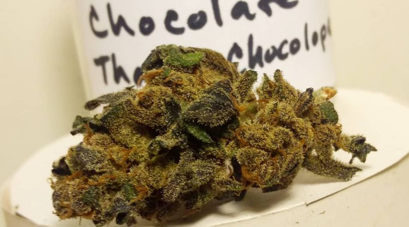 chocolate thai x chocolope by old world organics strain review by pdxstoneman