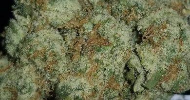 dark star by th seeds strain review by sticky_Haze420