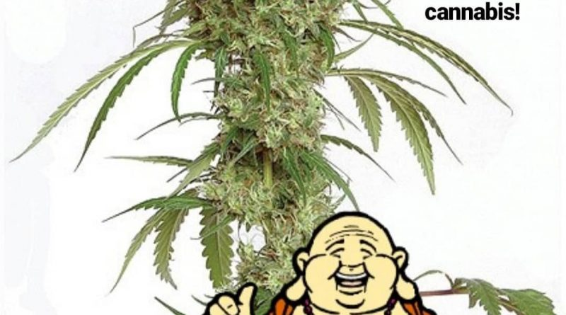 did buddha use cannabis cannabis history by cannaquestions