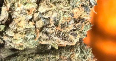 gelato 33 by ganjzilla okc strain review by okcannacritic