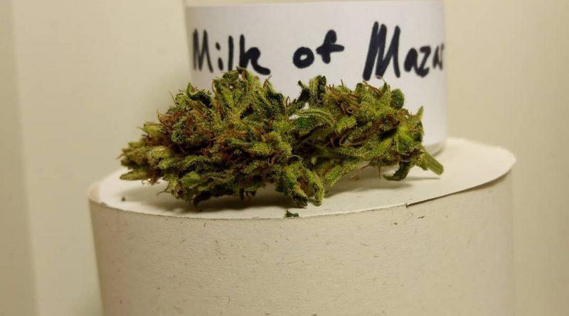 milk of mazar by old world organics strain review by pdxstoneman 2