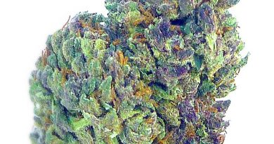 grape ape from flowr of lyfe strain review by eugene.dispensariesgrape ape from flowr of lyfe strain review by eugene.dispensaries