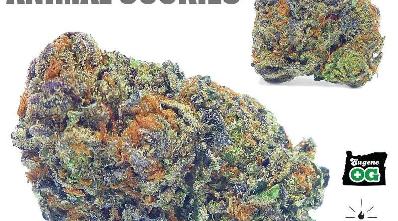 platinum animal cookies by phyre strain review by eugene.dispensaries