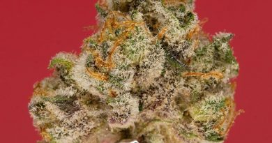 berry pie by cookies enterprises strain review by thefirescale