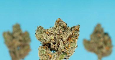 blucifer by terraform genetics strain review by thefirescale 2