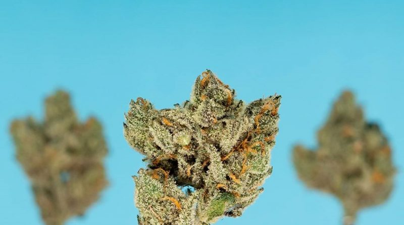 blucifer by terraform genetics strain review by thefirescale 2