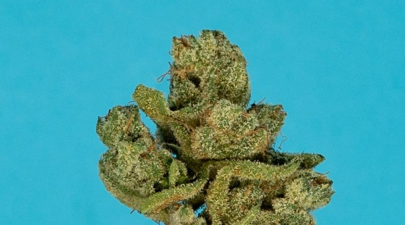 xxx og by maven genetics strain review by thefirescale 3