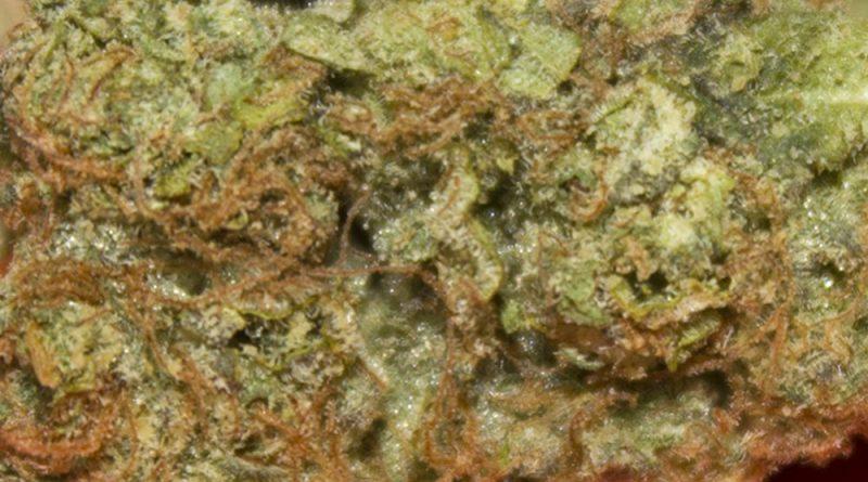 frittlez by f.r.i.t.z strain review by bigwhiteash