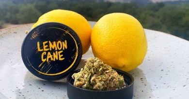 lemon cane by archive seed bank strain review by anna.smokes.canna