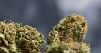 purple badlands by greenpoint seeds strain review by _scarletts_strains_ 2