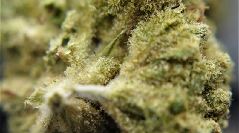 roll's choice by pez-bro strain review by cannasaurus_rex_reviews