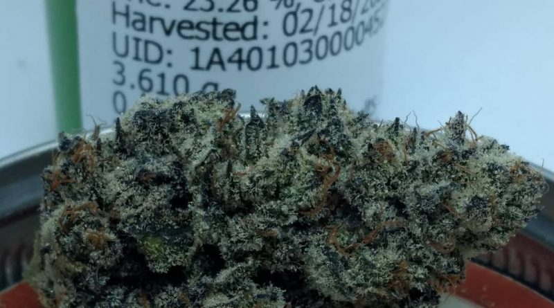 white truffle by focus north gardens strain review by pdxstoneman 2