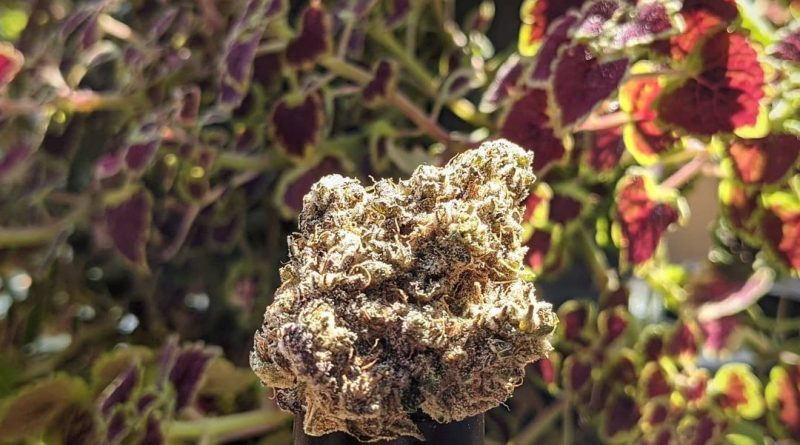 cherry punch by blkmkt strain review by terple grapes
